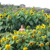 Giant Sunflowers