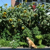 14' Kong Sunflowers