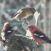 White Winged Crossbills