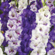 Image of Purplicious Blend Gladiolus