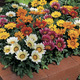 Image of Kiss Mix Gazania