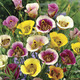 Image of Butterfly Tulip Mix