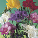 Image of Fragrant Double Freesia Mix