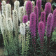 Image of Mixed Liatris