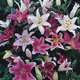 Image of Mixed Oriental Lilies
