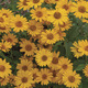 Image of Tuscan Sun Heliopsis