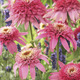 Image of Pink Double Delight Coneflower
