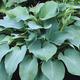 Image of Blue Angel Hosta
