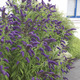 Image of Blue Chip Butterfly Bush
