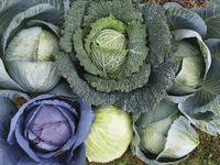 Image of All Season Blend Cabbage
