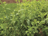 Image of Stevia