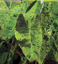 Image of Mojito Elephant Ear