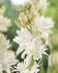 Image of Fragrant Double Tuberose