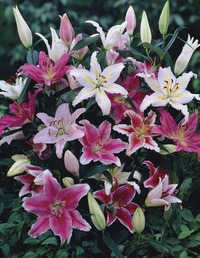 Image of Oriental Lily Mix