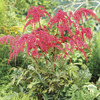 Image of Red Ostrich Plume Astilbe