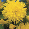Image of Fimbriata Promise Dahlia