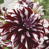 Image of Tartan Dinner Plate Dahlia