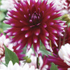 Image of Rebecca's World Dahlia