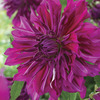 Image of Purple Taiheijo Dinner Plate Dahlia