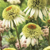 Image of Meringue Double Coneflower