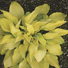 Image of Prairie Moon Hosta