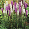 Image of Blazing Stars Liatris