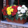Image of Non-Stop Begonia Mix