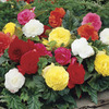 Image of Giant Camellia Begonia Mix
