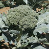 Image of Blue Wind Broccoli
