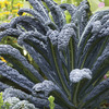 Image of Black Magic Kale