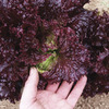Image of Blackhawk Lettuce