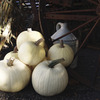 Image of Moonshine Pumpkin