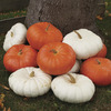 Image of Red & White Mix Pumpkin