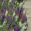 Image of Serenita Mix Angelonia