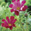Image of Pied Piper Cosmos