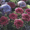 Image of Glamour Red Flowering Brassicas