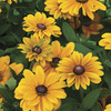 Image of Tigereye Rudbeckia
