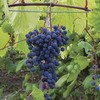 Image of Frontenac Grape