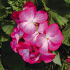 Image of Ringo Geranium Collection