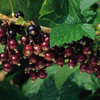 Image of Titania Currant