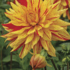 Image of Vulcan Semi-Cactus Dahlia