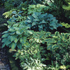 Image of Shade Loving Hostas Mixed
