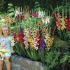 Image of Cutflower Gladiolus Garden Mix