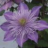 Image of Crystal Fountain Clematis