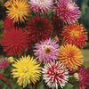 Image of Hybridizers Dahlia Mix
