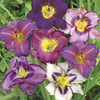 Image of Purple & White Daylily Blend