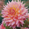 Image of Kidd's Climax Dinner Plate Dahlia