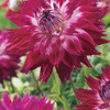 Image of Fantaste Du Cape Dinner Plate Dahlia