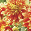Image of Bodacious Dinner Plate Dahlia