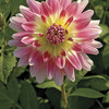 Image of Tropical Sunset Dahlia